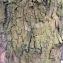 grenn - Platanus orientalis L.
