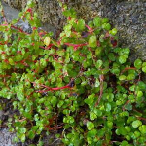 Soleirolia repens Kuntze (Helxine de Soleirol)