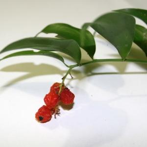 Danae racemosa (L.) Moench