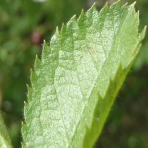 Photographie n°233487 du taxon Rosa corymbifera Borkh.
