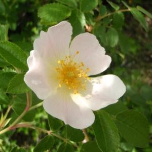 Rosa corymbifera Borkh. (Églantier en corymbe)