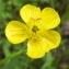 Jean-Claude Echardour - Ranunculus flammula L. [1753]