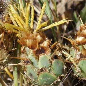 Centaurea acaulis L. (Centaurée sans tige)