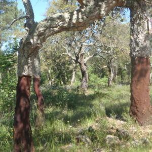 Photographie n°233644 du taxon Quercus suber L. [1753]