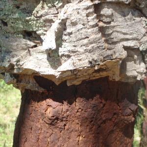 Photographie n°233645 du taxon Quercus suber L. [1753]