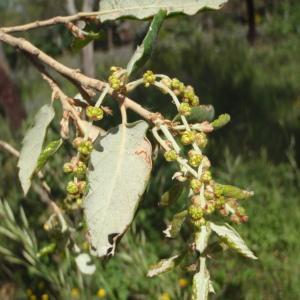 Photographie n°233647 du taxon Quercus suber L. [1753]