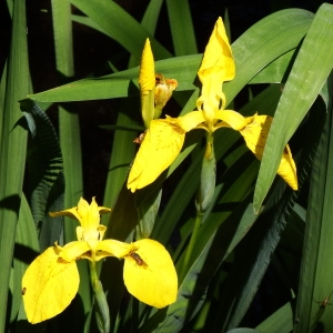 Photographie n°233655 du taxon Iris pseudacorus L. [1753]