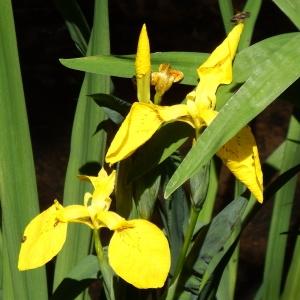 Photographie n°233656 du taxon Iris pseudacorus L. [1753]