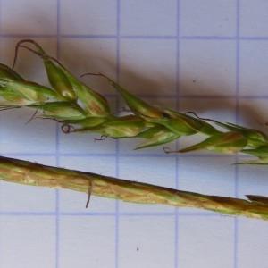 Photographie n°233878 du taxon Carex sylvatica Huds. [1762]