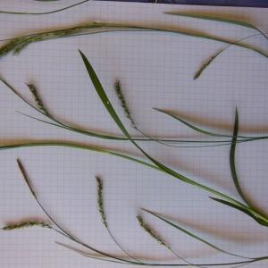 Photographie n°233880 du taxon Carex sylvatica Huds. [1762]