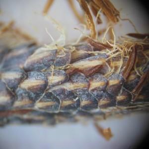 Photographie n°233890 du taxon Carex flacca Schreb. [1771]