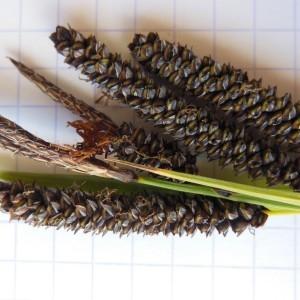 Photographie n°233896 du taxon Carex flacca Schreb. [1771]