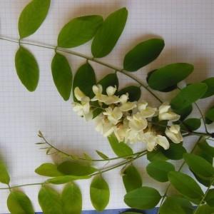 Photographie n°233902 du taxon Robinia pseudoacacia L.