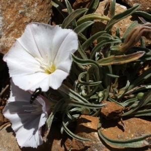 Convolvulus lineatus L. (Liseron à rayures parallèles)