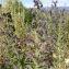 Salsa - Echium vulgare L.