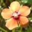 Jean-Claude Echardour - Lysimachia arvensis subsp. arvensis