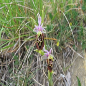 Photographie n°234277 du taxon Ophrys fuciflora (F.W.Schmidt) Moench [1802]