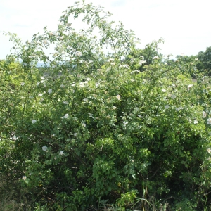 Photographie n°234281 du taxon Rosa corymbifera Borkh. [1790]