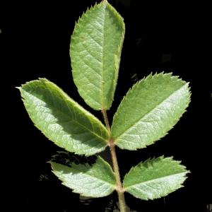 Photographie n°234284 du taxon Rosa corymbifera Borkh. [1790]