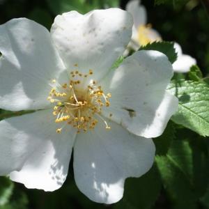 Photographie n°234292 du taxon Rosa corymbifera Borkh. [1790]