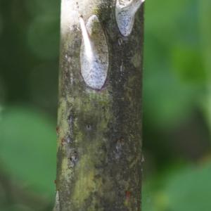 Photographie n°234297 du taxon Rosa corymbifera Borkh. [1790]