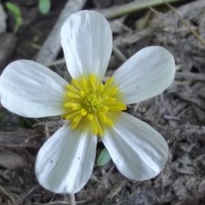 Ranunculus peltatus Schrank (Renoncule peltée)