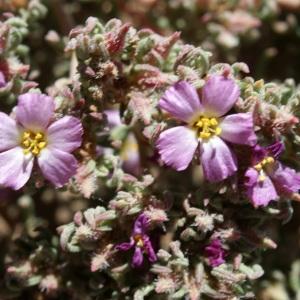 - Frankenia hirsuta subsp. intermedia (DC.) P.Fourn. [1936]