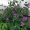 bertin - Lunaria annua L.