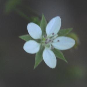 Photographie n°234581 du taxon Arenaria serpyllifolia subsp. leptoclados (Rchb.) Nyman [1878]
