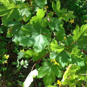 Photographie n°234651 du taxon Acer pseudoplatanus L.