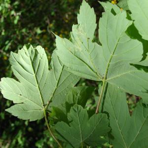 Photographie n°234652 du taxon Acer pseudoplatanus L.