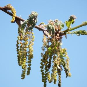 Quercus pyrenaica Willd. [1805] (Chêne des Pyrénées)