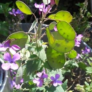 Photographie n°234682 du taxon Lunaria annua L. [1753]