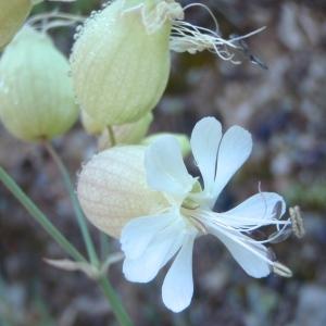 Photographie n°234737 du taxon Silene vulgaris var. vulgaris
