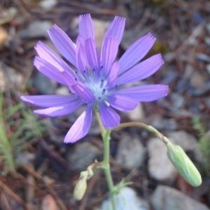 Photographie n°234742 du taxon Lactuca perennis L.