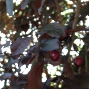 - Prunus cerasifera Ehrh.