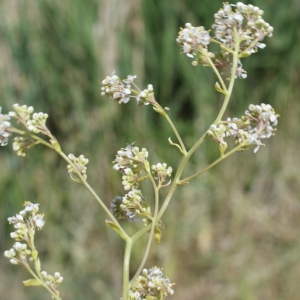 Photographie n°235016 du taxon Lepidium latifolium L.