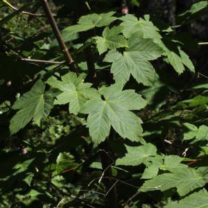 Photographie n°235056 du taxon Acer pseudoplatanus L.