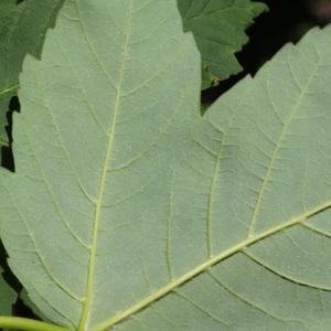 Photographie n°235058 du taxon Acer pseudoplatanus L.