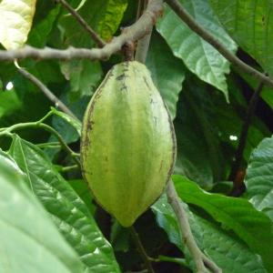 Photographie n°235111 du taxon Theobroma cacao L.