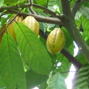 Photographie n°235112 du taxon Theobroma cacao L.
