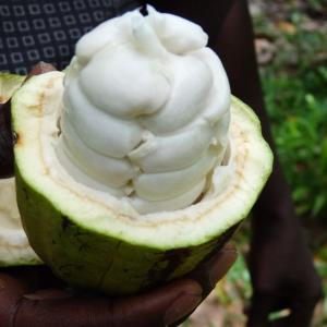 Photographie n°235114 du taxon Theobroma cacao L.