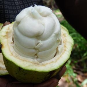 Photographie n°235115 du taxon Theobroma cacao L.