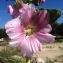 Pierre Bonnet - Alcea rosea L. [1753]