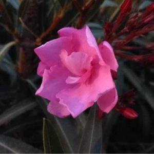 Photographie n°235348 du taxon Nerium oleander L. [1753]