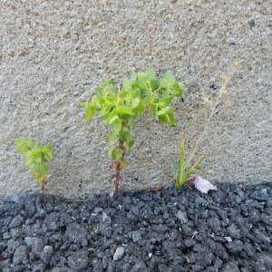 Photographie n°235356 du taxon Euphorbia peplus L. [1753]