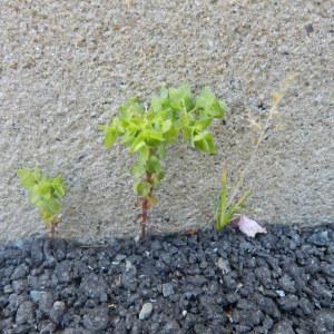 Photographie n°235375 du taxon Euphorbia peplus L. [1753]