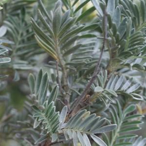 Photographie n°235439 du taxon Anthyllis barba-jovis L.