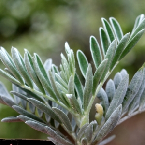 Photographie n°235448 du taxon Anthyllis barba-jovis L.