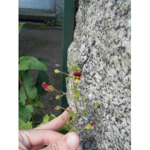 Scrophularia sp.